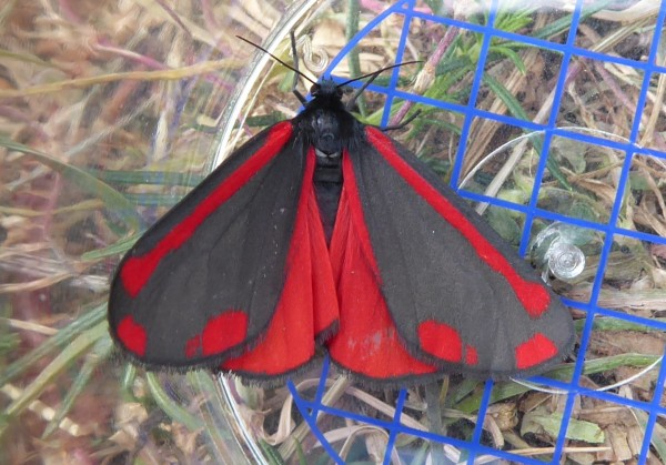 Cinnabar Moth_Orchard Park_18 June 18
