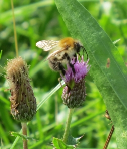 Common Carder Bee on Knapweed